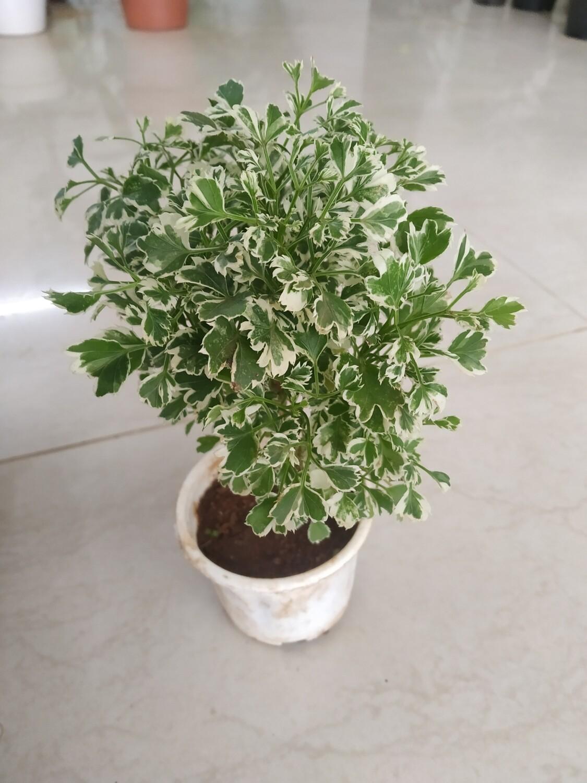 """Aralia Miniature Variegated in 4"""" Nursery Pot"""