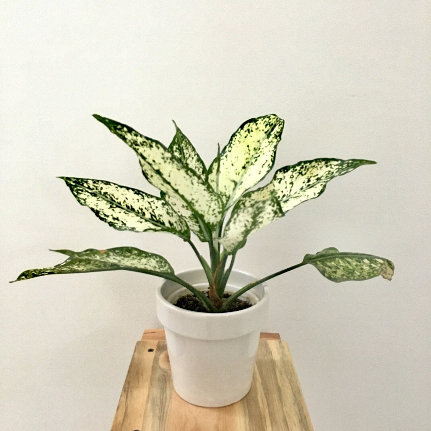 """Aglaonema Snow White - Chinese Evergreen in Stackable 4.5"""" White Ceramic Pot"""