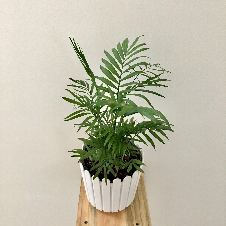 "Chamaedorea Palm Plant in 6"" Fence Round Pot"