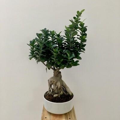 """Ficus Bonsai in 7"""" Round Ceramic Bonsai Pot"""