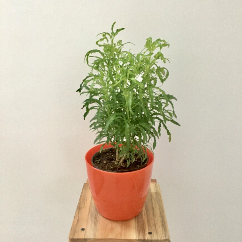 "Aralia Green  in Skanda 5"" Round Pot"