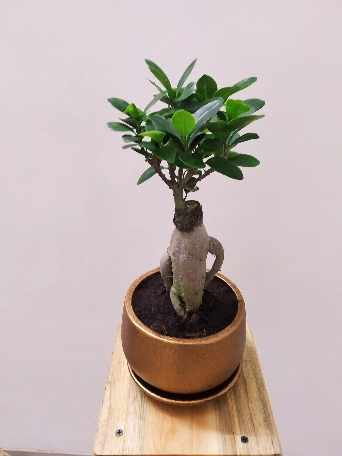 """Ficus Bonsai Plant in 6"""" Copper Metallic Coated Terracotta Pot with Saucer"""