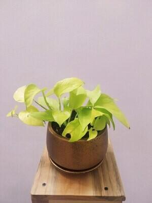 Money Plant Golden in Coated Copper Metallic Coated Terracotta Pot with Saucer