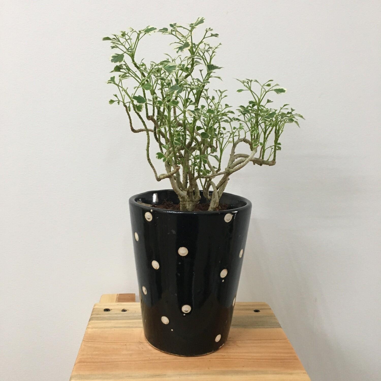 "Aralia Miniature Variegated - Aralia Plant in 4"" Polka Dot Ceramic Pot"