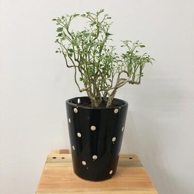 "Aralia Miniature Variegated - Aralia Plant in Polka Dot Ceramic 4"" Pot"