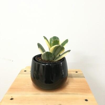 "Variegated Jade Plant in 4"" Unami Bowl - Multi Color"