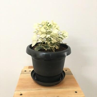 "Aralia Miniature White - Aralia Plant in 4"" Black Round Pot"