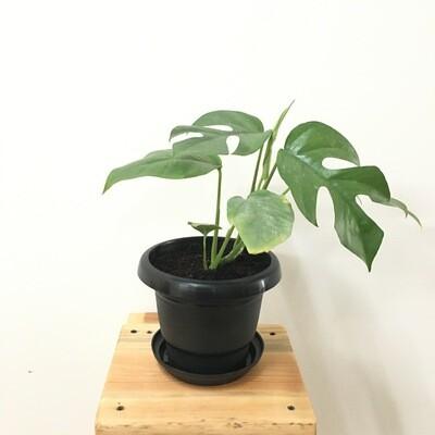 """Mini Monstera Plant in 4"""" Black Round Pot"""