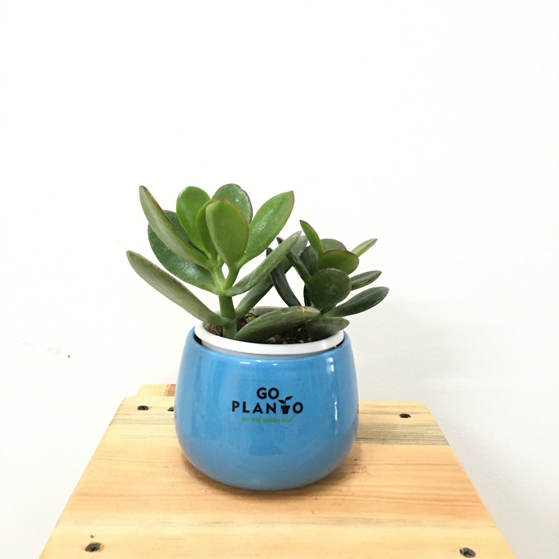 """Jade Succulent in 4"""" Unami Ceramic Bowl"""