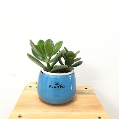 Jade Succulent in Unami Ceramic Bowl