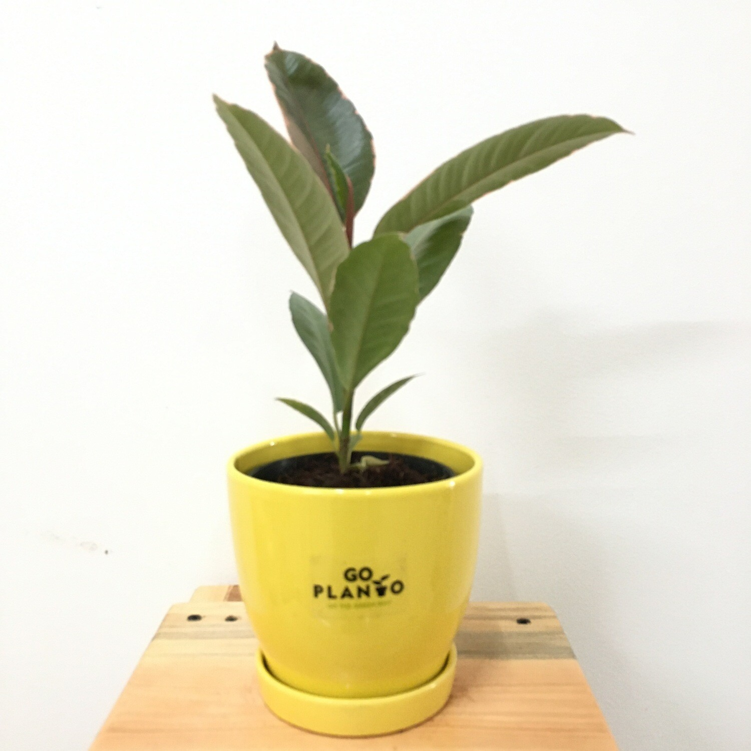 """Ficus Elastica - Rubber Plant Red Variegated in S2 - 4"""" Curvy Bottom Pot with Saucer- Multi Color"""