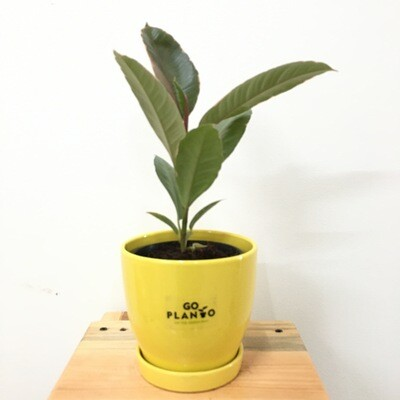 Ficus Elastica - Rubber Plant Red Variegated in S2 - Curvy Bottom Pot with Saucer- Multi Color