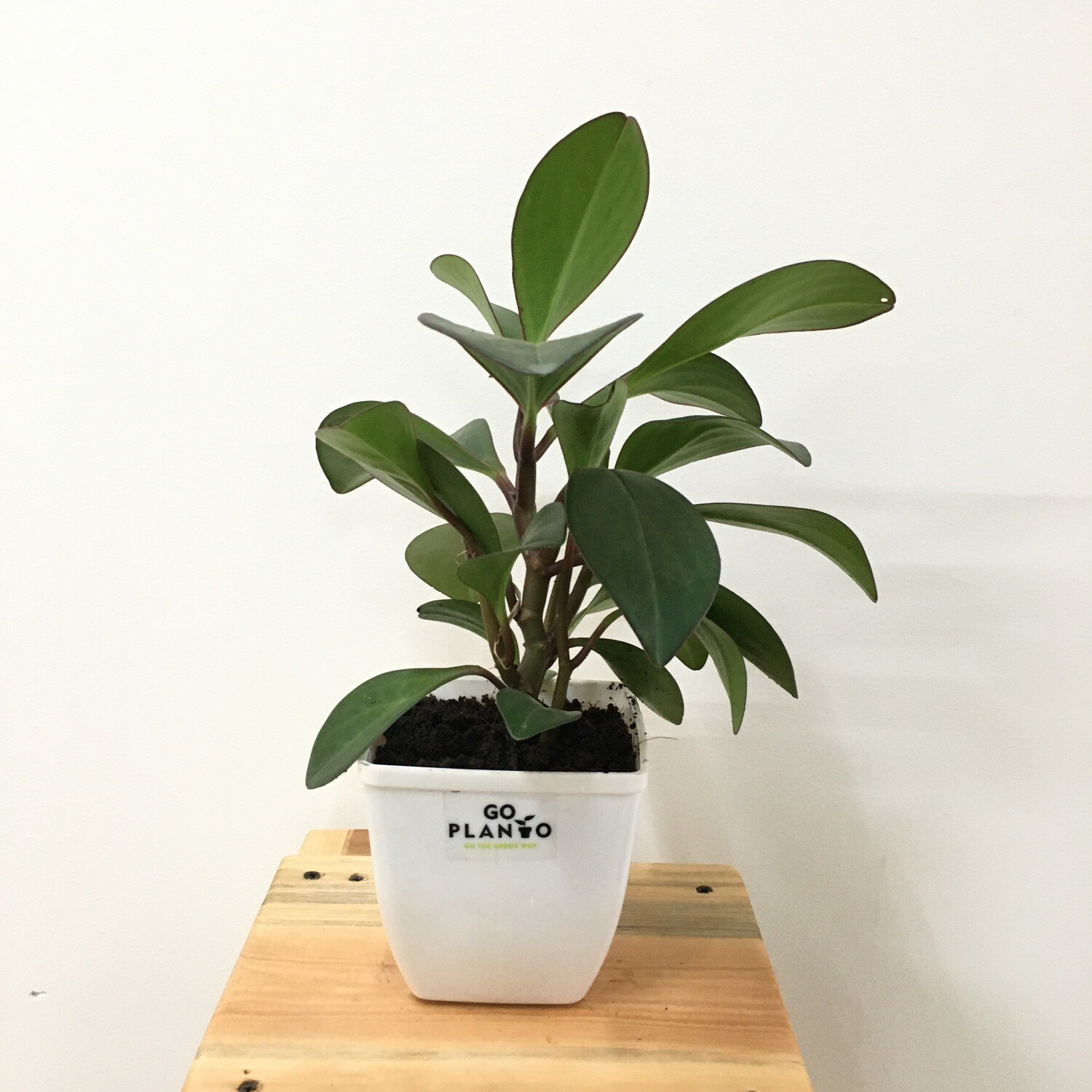 """Peperomia Green Long Leaf Plant Big in 4"""" Square Pot"""