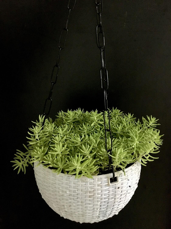 "Sedum Green Plant in 7"" White Hanging Pot"