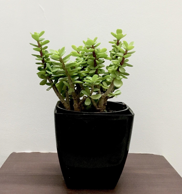 """Jade Plant in 5"""" Black Square Pot"""