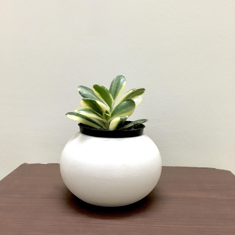"""Variegated Jade Plant in 3"""" Round Ceramic Pot"""