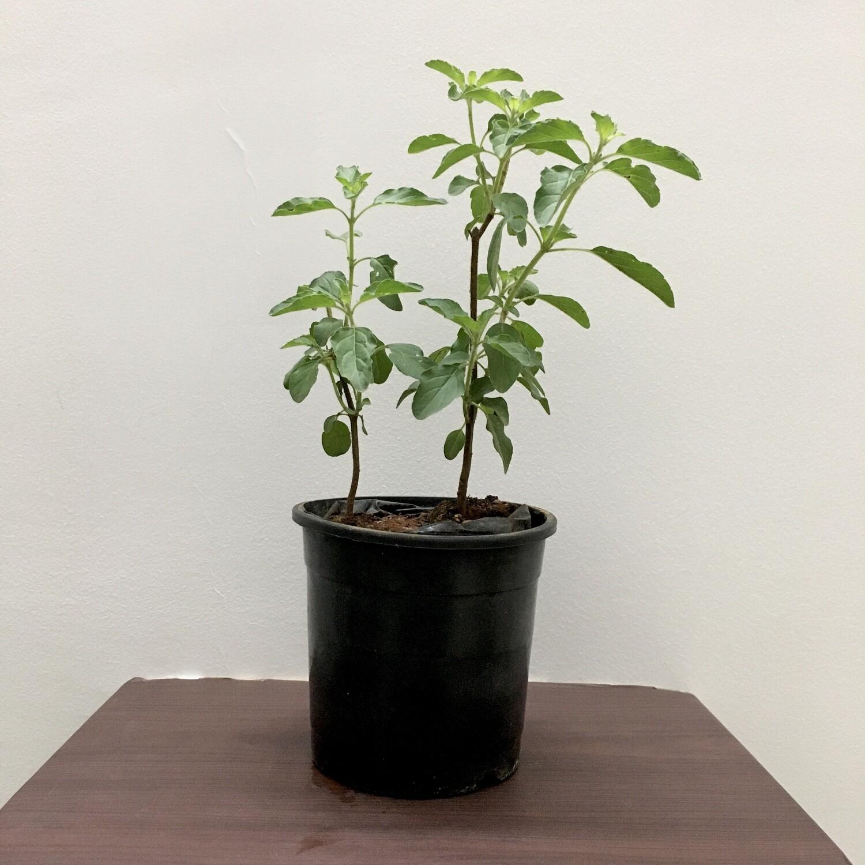 """Tulsi Plant in 4"""" Nursery Pot"""