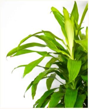 "Dracaena Golden- 3 Feet in 10"" Nursery Pot"