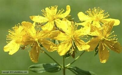 St John's Wort Cream (Hypericum) 60 ml glass jar