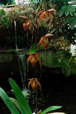Paphiopedilum anitum x rothschildianum (Wössner Black Wings)