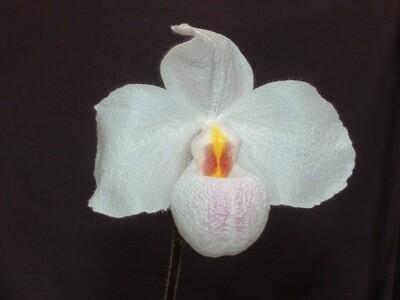 Paphiopedilum Marilyn Levy ( Armeni White x delenatii )