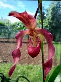 Phragmipedium America  ( kovachii `Anaj` x Les Dirouilles `Anja` )