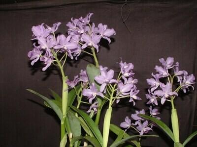 Cattleya bowringiana var. coerulea `Blue Sky ` x self  neu !