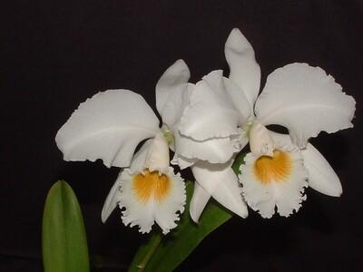Cattleya gaskelliana var. alba x self