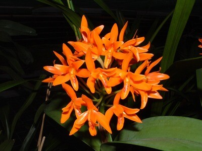 Cattleya auranthiaca kräftig blühstark