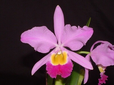 Cattleya eldorado ( syn. wallisii ) x sib
