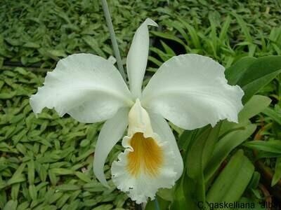 Cattleya gaskelliana var. alba  blühstark