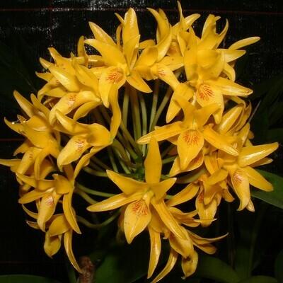 Cattleya auranthiaca var. flava x self