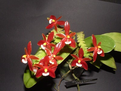 Phalaenopsis cornu-cervi `Red` ( syn. chattaladae ) blühstark