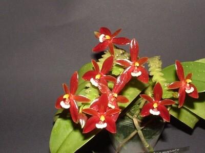 Phalaenopsis cornu-cervi `Red` (syn. chattaladae)