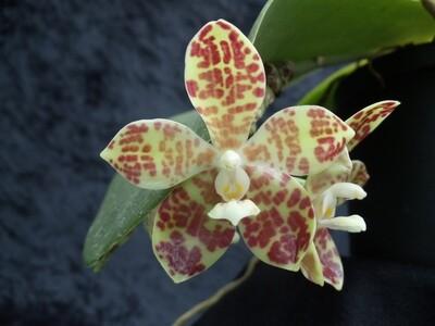 Phalaenopsis doveryensis x violacea