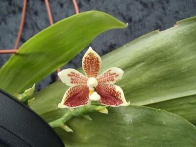 Phalaenopsis inscriptio-sinensis