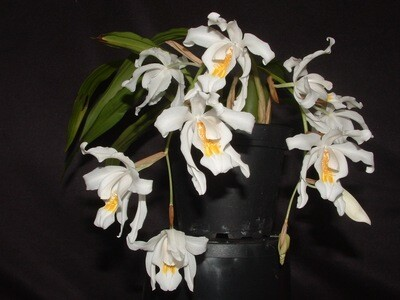 Coelogyne cristata `Chatsworth`