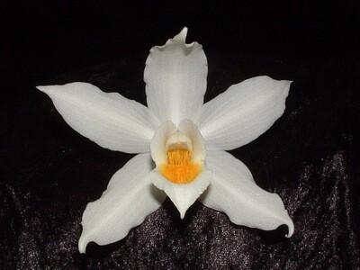 Coelogyne mooreana var. magnifica `Westonbirt` Teilstücke