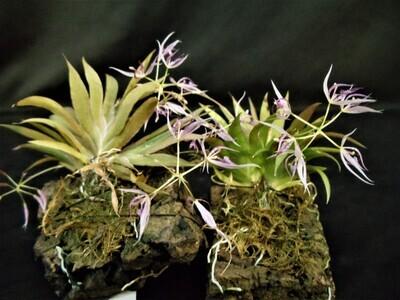 Macroclinium manabinum x borjaense