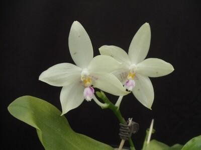 Phalaenopsis rofino x tetraspis blühstark neu
