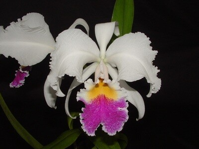 Cattleya trianae var. amesiana `Graue` x self