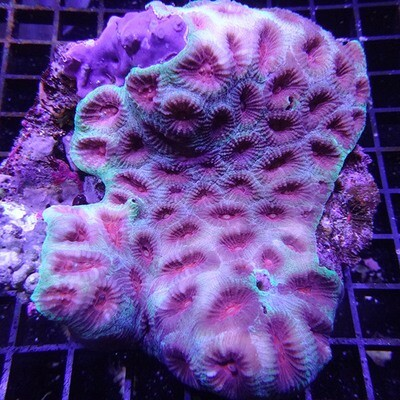 WYSIWYG War Coral