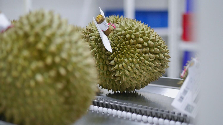 Durian   ทุเรียนหมอนทอง