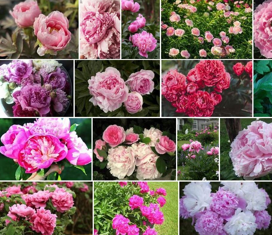 Peony Planting Party