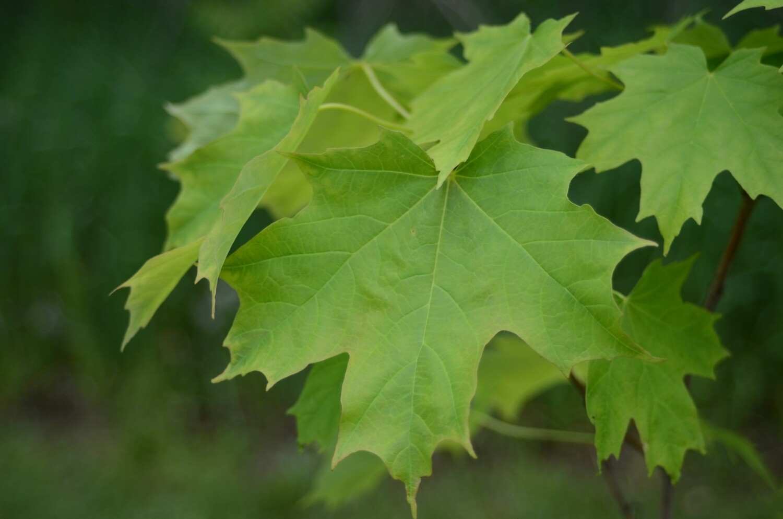 Acer saccharum - Sugar Maple
