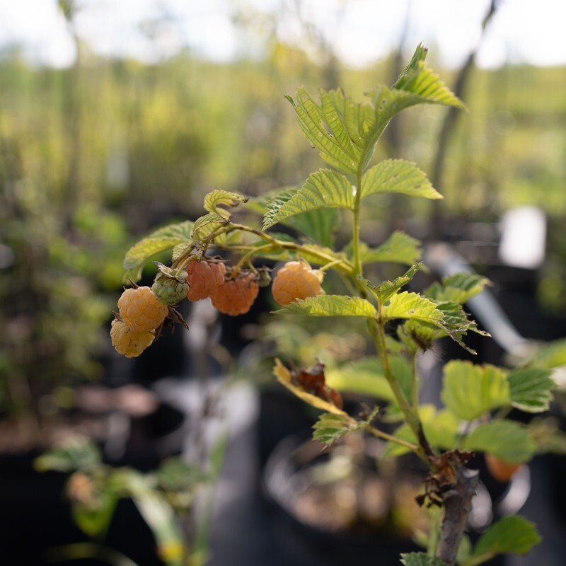 Yellow Raspberry 'Honey Queen'