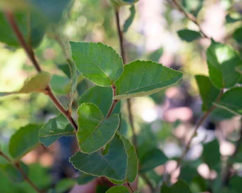 Betula pumila - Dwarf Birch