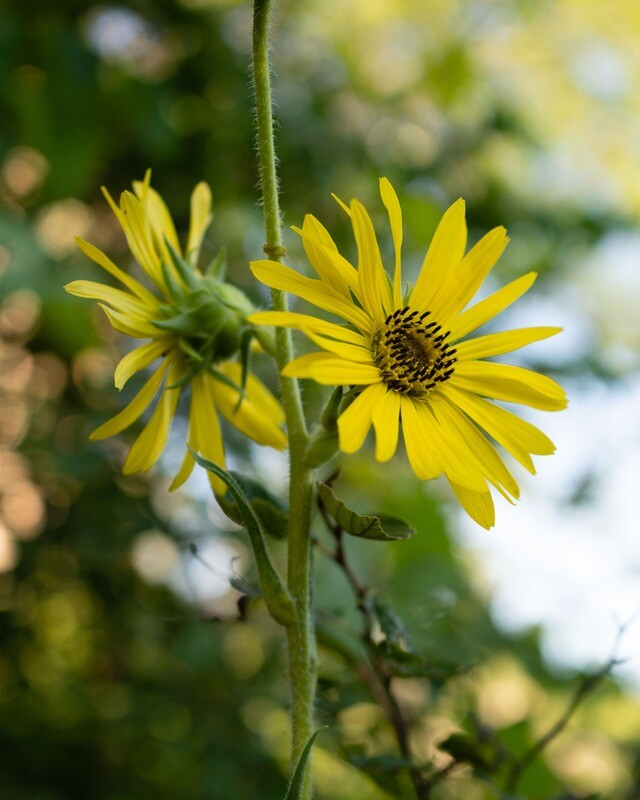 Silphium laciniatum - Compass Flower