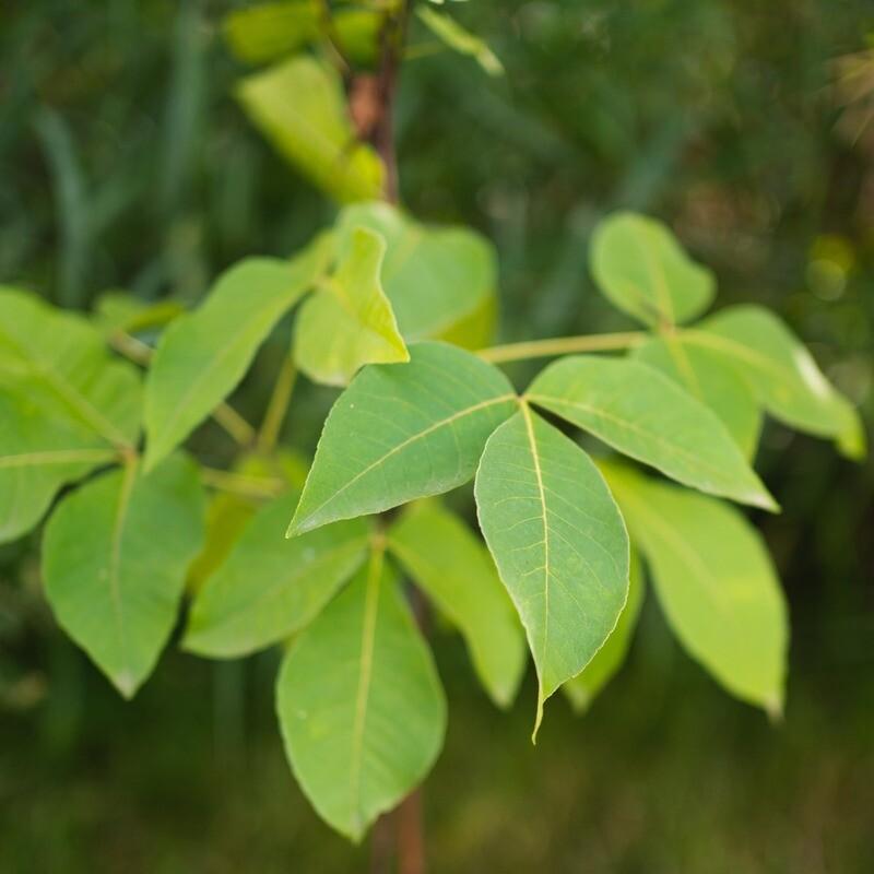 Ptelea trifoliata - Common Hoptree