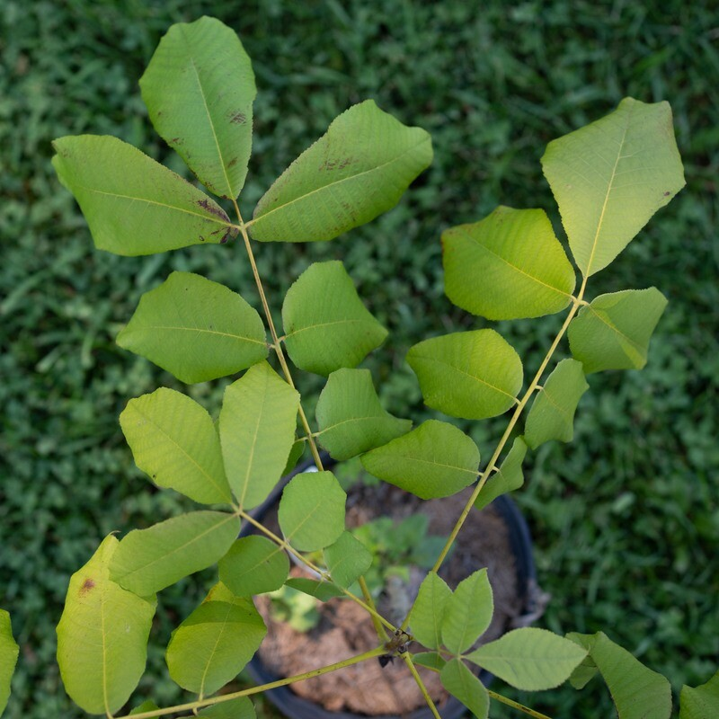 Carya laciniosa - Big Shellbark Hickory